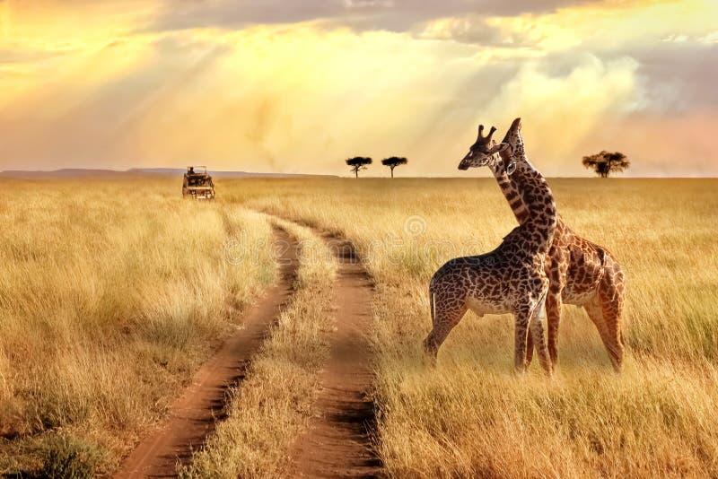 Grupp av giraff i den Serengeti nationalparken på en solnedgångbakgrund med strålar av solljus afrikansk safari arkivfoton