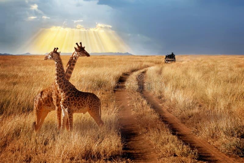 Grupp av giraff i den Serengeti nationalparken på en solnedgångbakgrund med strålar av solljus afrikansk safari arkivbilder