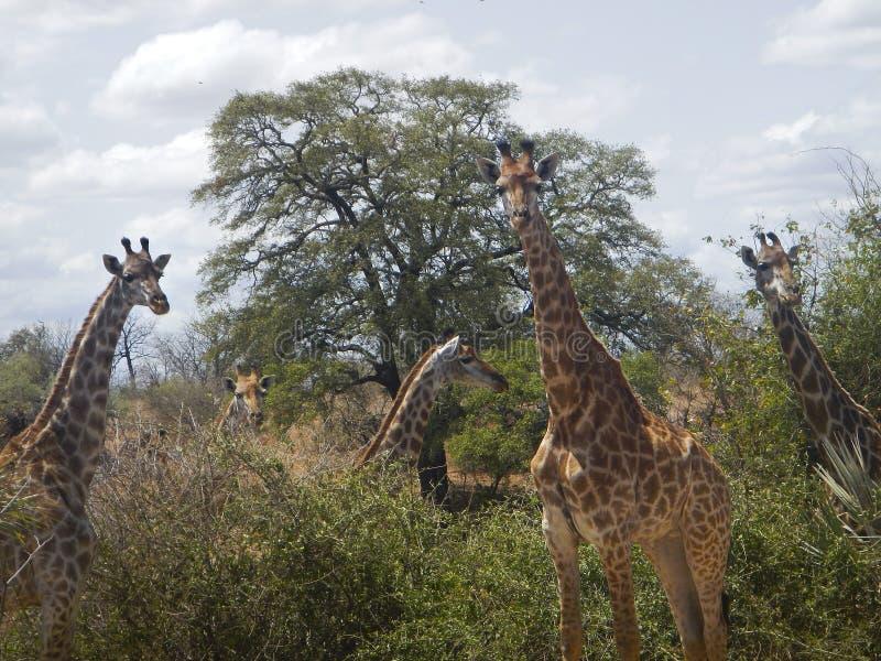 Grupp av giraff i mitt av savannahen, Kruger, Sydafrika arkivbild