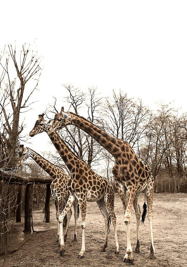 Grupp av giraff i zoo arkivbilder