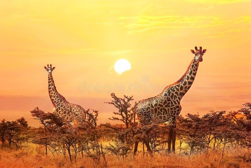 Grupp av giraff på solnedgångbakgrund royaltyfri fotografi
