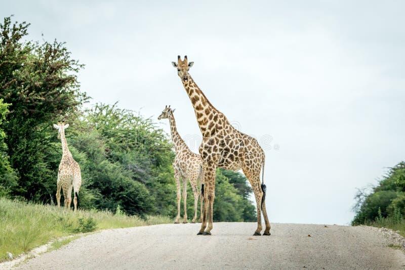 Grupp av giraff som står på vägen royaltyfri bild