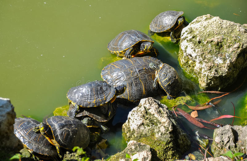 Grupp av gothersköldpaddor i sjön arkivbilder