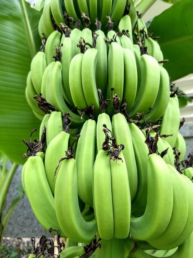 Grupp av gröna bananer på träd med suddighetsbakgrund royaltyfri bild
