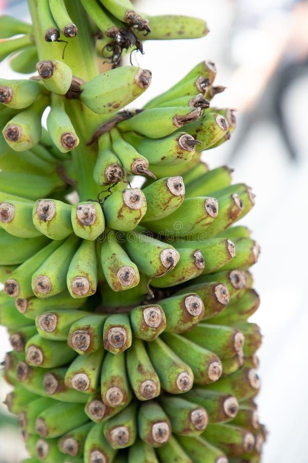 Grupp av gröna bananer som hänger från en palmtree arkivfoto