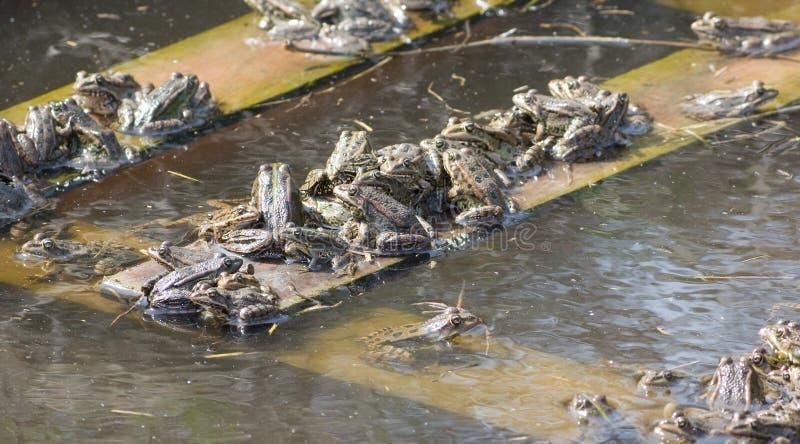 Grupp av grodor som värma sig i solen royaltyfria bilder