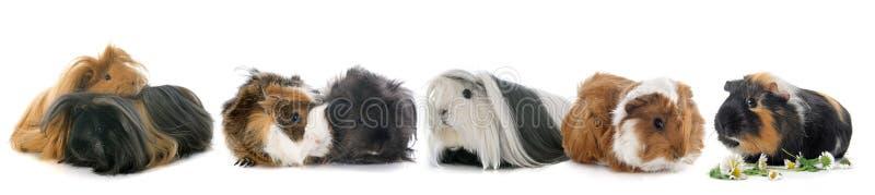 Grupp av guineal svin arkivfoto