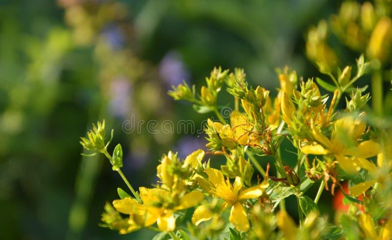 Grupp av gula blommor mot en grön bakgrund royaltyfria bilder