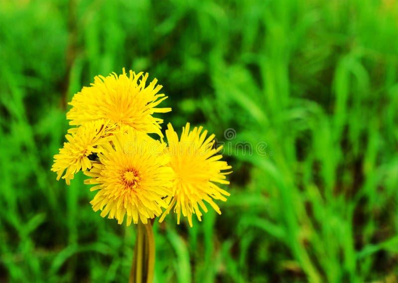 Grupp av gula maskrosor på gräs - closeupsikt royaltyfria foton