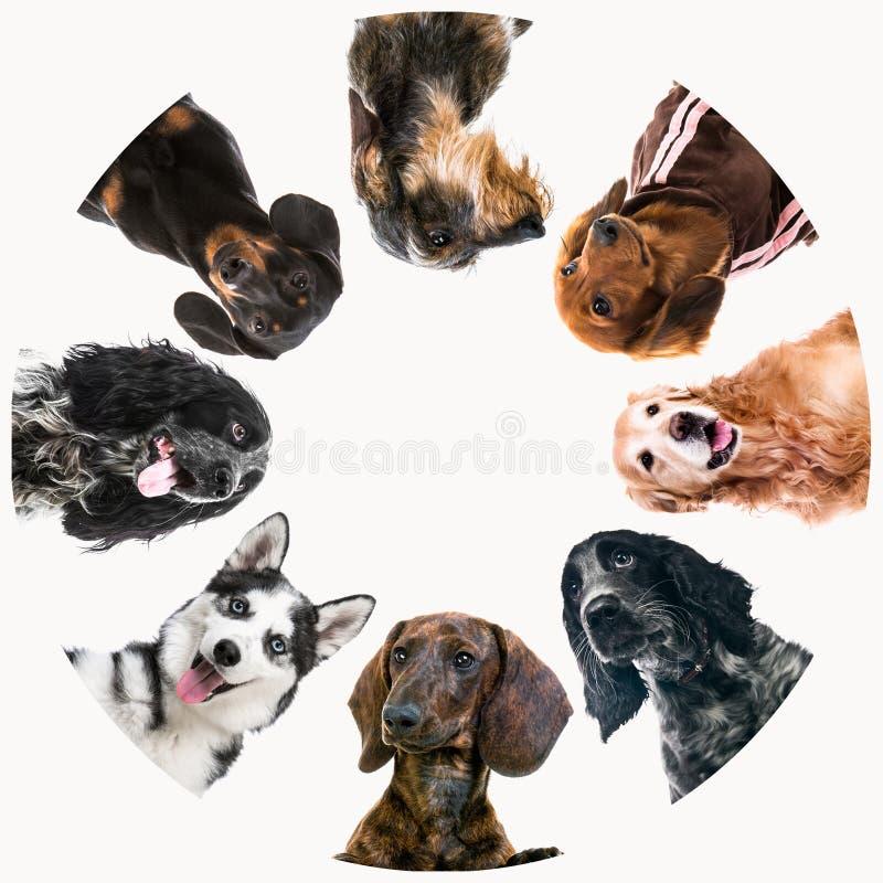 Grupp av gullig fluffig hundkapplöpning royaltyfria foton