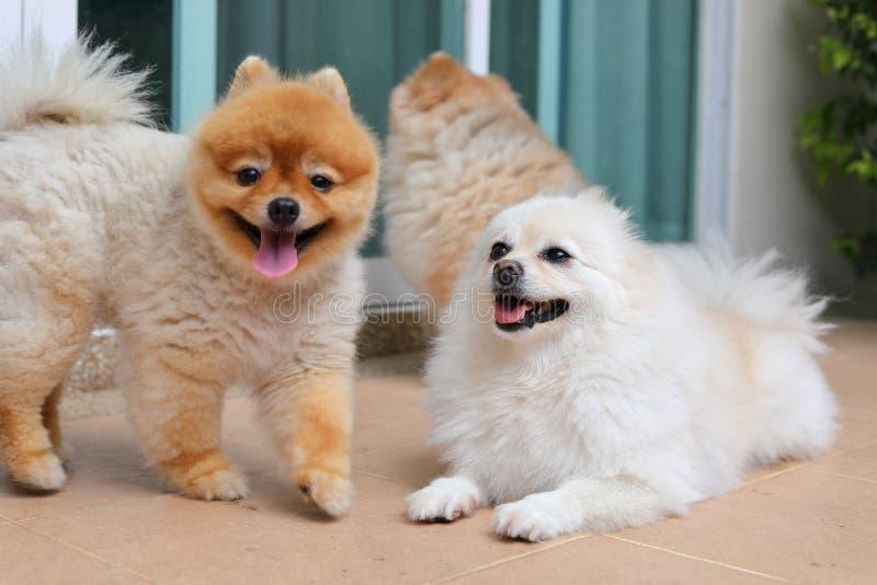 Grupp av gulliga den lyckliga husdjurfamiljen för pomeranian hund royaltyfria bilder