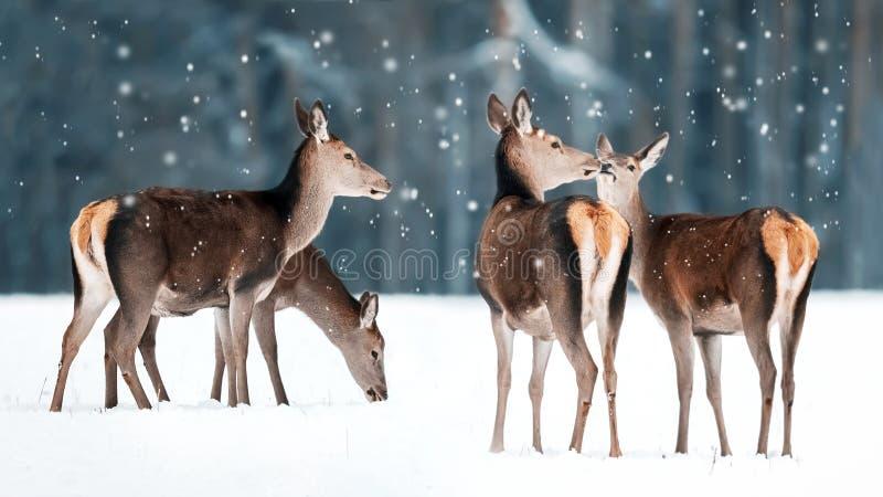Grupp av härliga kvinnliga behagfulla hjortar i elaphus för Cervus för hjortar för snöig vinterskog en nobel Vinterunderland royaltyfri foto