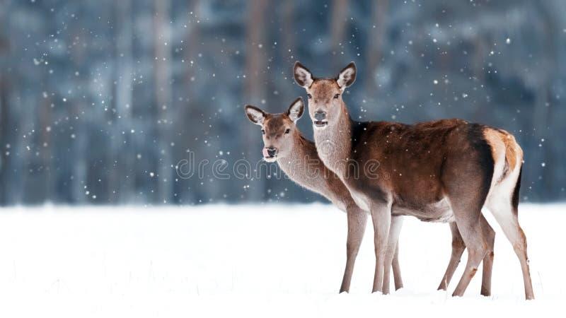 Grupp av härliga kvinnliga behagfulla hjortar på bakgrunden av elaphus för Cervus för hjortar för snöig vinterskog en nobel royaltyfria foton
