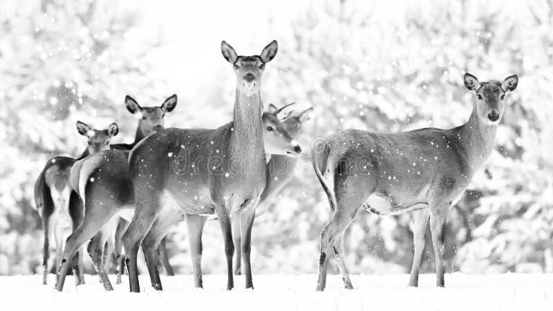 Grupp av härliga kvinnliga behagfulla hjortar på bakgrunden av elaphus för Cervus för hjortar för snöig vinterskog en nobel royaltyfri fotografi