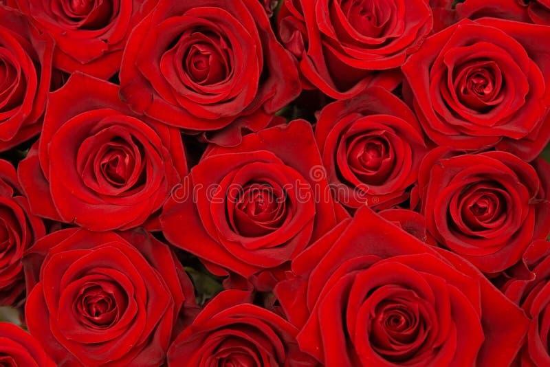 Grupp av härliga röda rosor arkivfoton