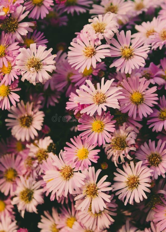 Grupp av härliga rosa tusenskönablommor royaltyfri bild