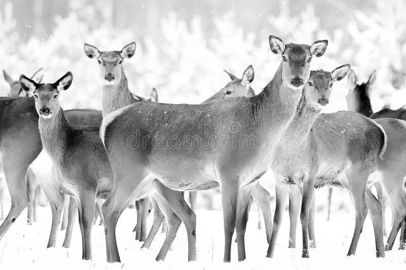 Grupp av h?rliga kvinnliga hjortar p? bakgrunden av elaphus f?r Cervus f?r hjortar f?r sn?ig vinterskog en nobel arkivbild