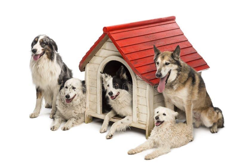 Grupp av hundar in och omge en hundkoja arkivfoton