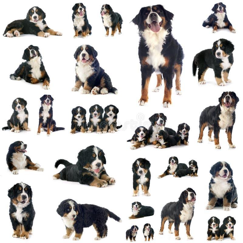 Grupp av hunden för bernese berg arkivbild