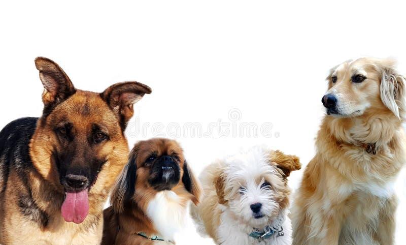 Grupp av hundkapplöpning på vit royaltyfri bild