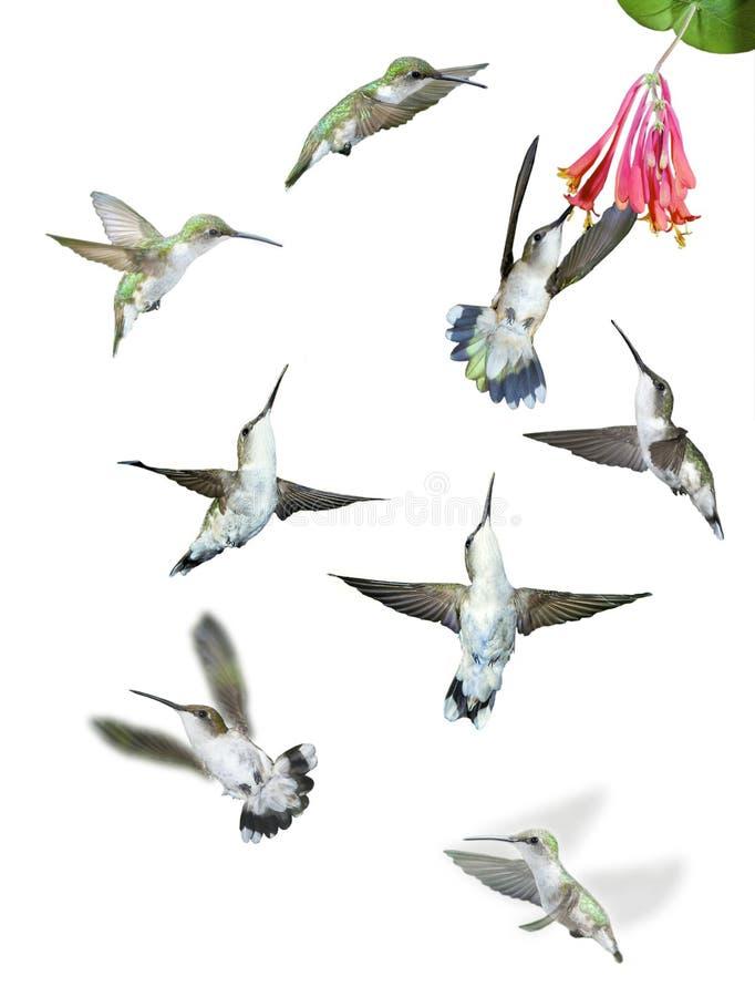 Grupp av isolerade Hummingbirds arkivfoton
