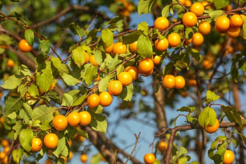 Grupp av körsbärsröd katrinplommon för gula mirabellplommoner/Prunusdomestica royaltyfri fotografi
