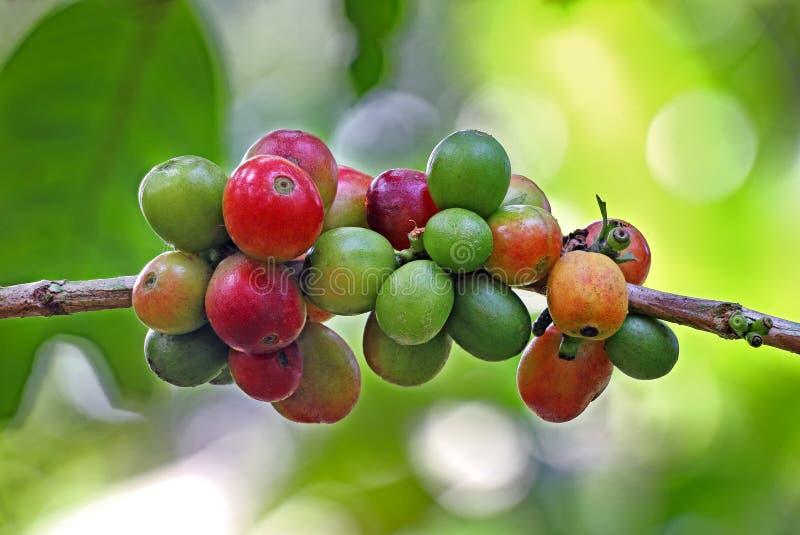 Grupp av kaffebönor i träd fotografering för bildbyråer