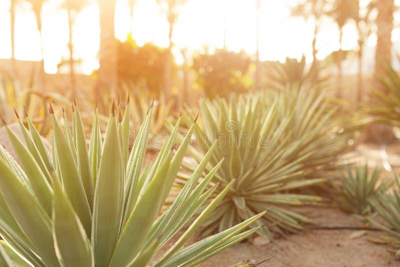 Grupp av kaktusbuskar på den dekorativa blommaträdgården av Agave arkivbilder