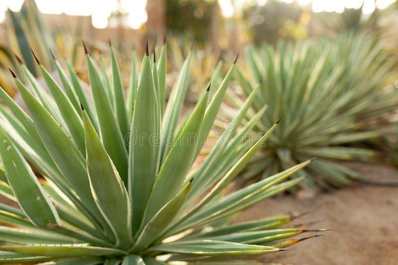 Grupp av kaktusbuskar på den dekorativa blommaträdgården av Agave fotografering för bildbyråer