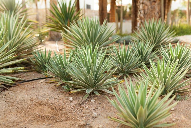 Grupp av kaktusbuskar på den dekorativa blommaträdgården av Agave royaltyfri bild