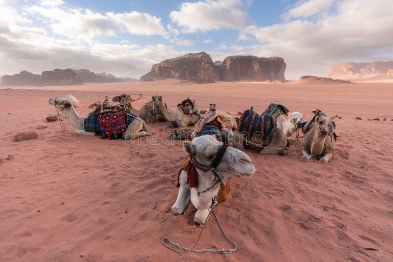 Grupp av kamel som kyler i morgonen på den Wadi Rum öknen, Jordanien, Mellanöstern royaltyfri fotografi