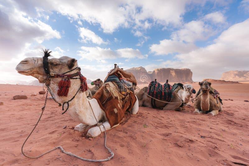 Grupp av kamel som kyler i morgonen p? den Wadi Rum ?knen, Jordanien, Mellan?stern royaltyfria bilder