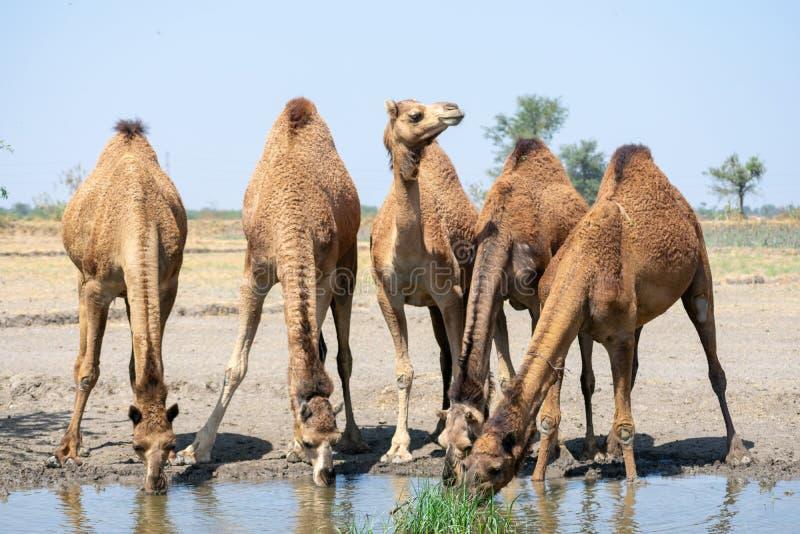 Grupp av kamelfotoet royaltyfri foto