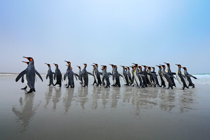 Grupp av konungpingvin, Aptenodytespatagonicus som går från vit sand till havet, artic djur i naturlivsmiljön, mörker - blå himme arkivbilder