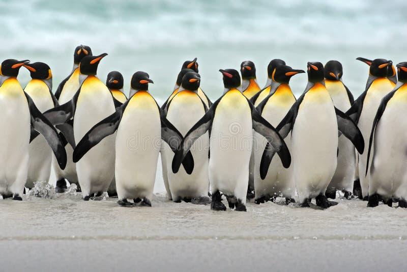 Grupp av konungpingvin som tillbaka tillsammans kommer från havet att sätta på land med vågen en blå himmel, volontärpunkt, Falkl arkivfoton