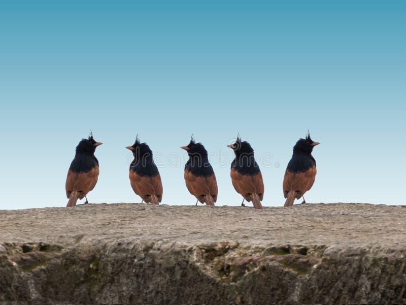 Grupp av krönade Bunting Fågel-Indien royaltyfria foton