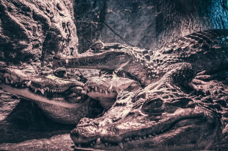 Grupp av krokodiler, farliga rovdjurs- djurreptilar, slut upp royaltyfria bilder