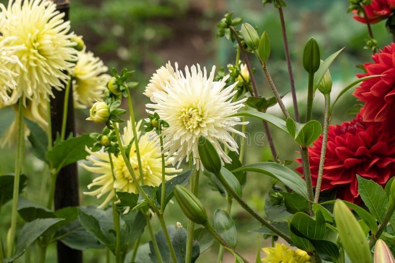 Grupp av krysantemumet på trädgård fotografering för bildbyråer