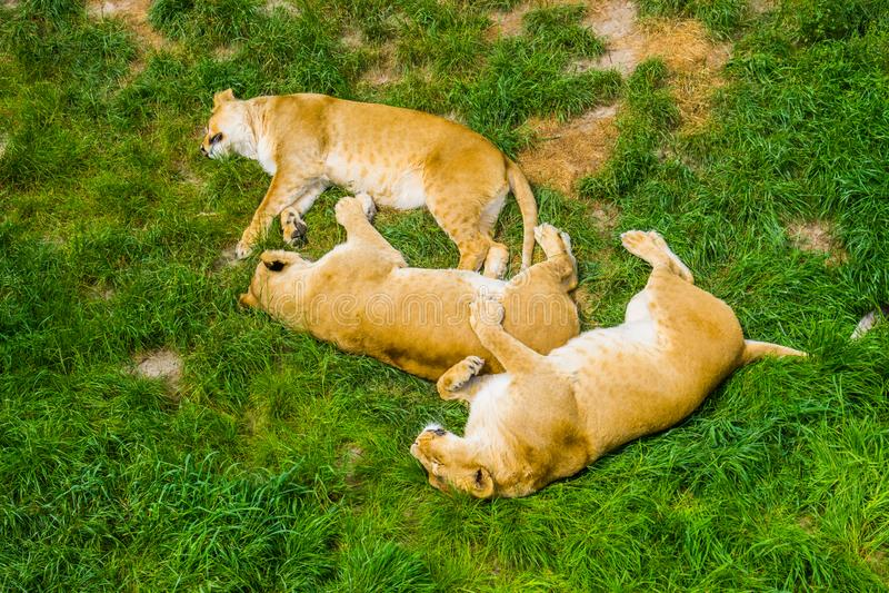 Grupp av kvinnliga lejon som tätt tillsammans sover i gräset, uppförande för socialt lejon, sårbar djur specie från Afrika arkivbild