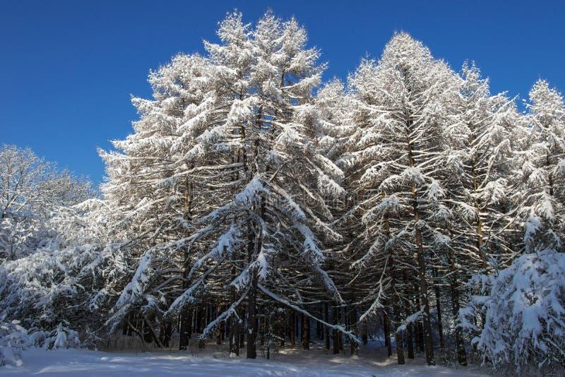 Grupp av lärkträd som täckas med snö arkivbilder