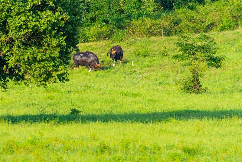 Grupp av lösa bisonar som äter gräs i ängen royaltyfri bild