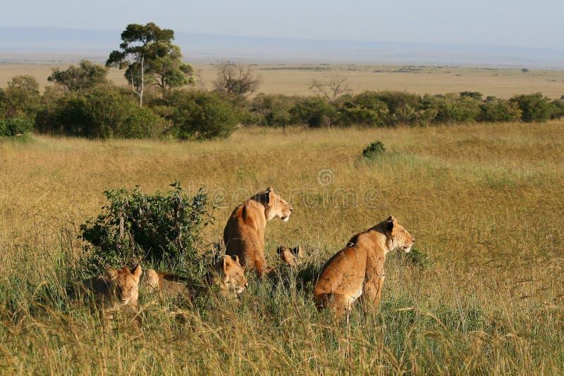 Grupp av lösa lejon arkivfoton