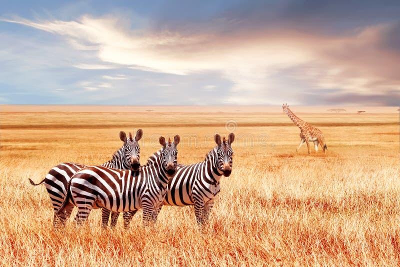 Grupp av lösa sebror och jiraffe i den afrikanska savannet mot den härliga solnedgången djurliv av africa tanzania royaltyfria bilder