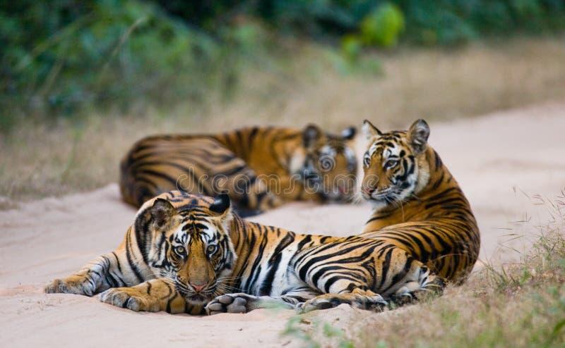 Grupp av lösa tigrar på vägen india 17 2010 för india för elefant för bandhavgarhbandhavgarthområde umaria för ritt för pradesh f fotografering för bildbyråer