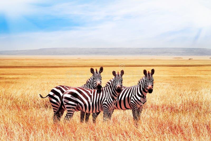 Grupp av l?sa sebror i den afrikanska savannet mot den h?rliga bl?a himlen med moln djurliv av africa tanzania arkivbild