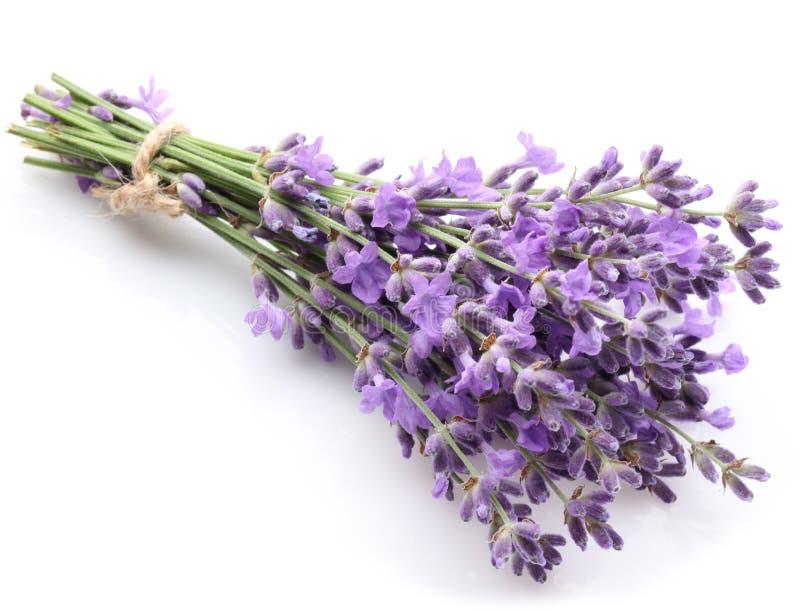 Grupp av lavendel. royaltyfri bild