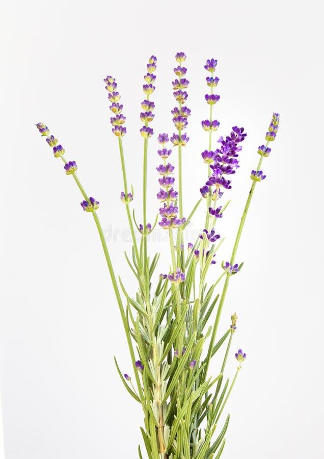 Grupp av lavendel p? en vitbakgrund Botanisk illustration på tappningstil royaltyfri fotografi