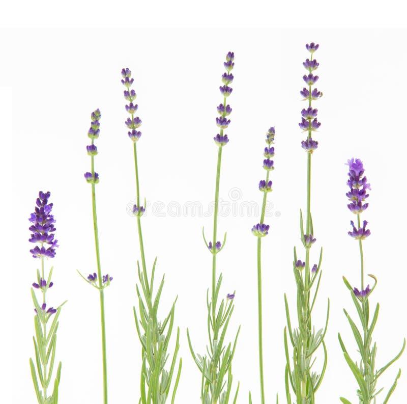 Grupp av lavendel p? en vitbakgrund Botanisk illustration på tappningstil fotografering för bildbyråer