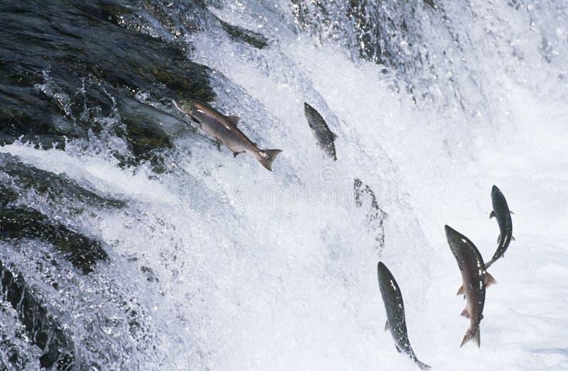 Grupp av laxen som hoppar som är uppströms i floden fotografering för bildbyråer