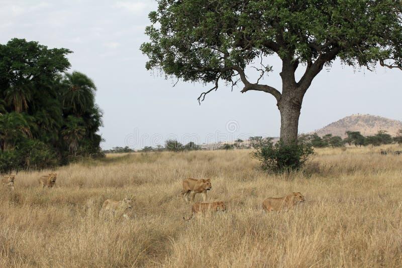 Grupp av lejon som går i savannahen royaltyfria bilder